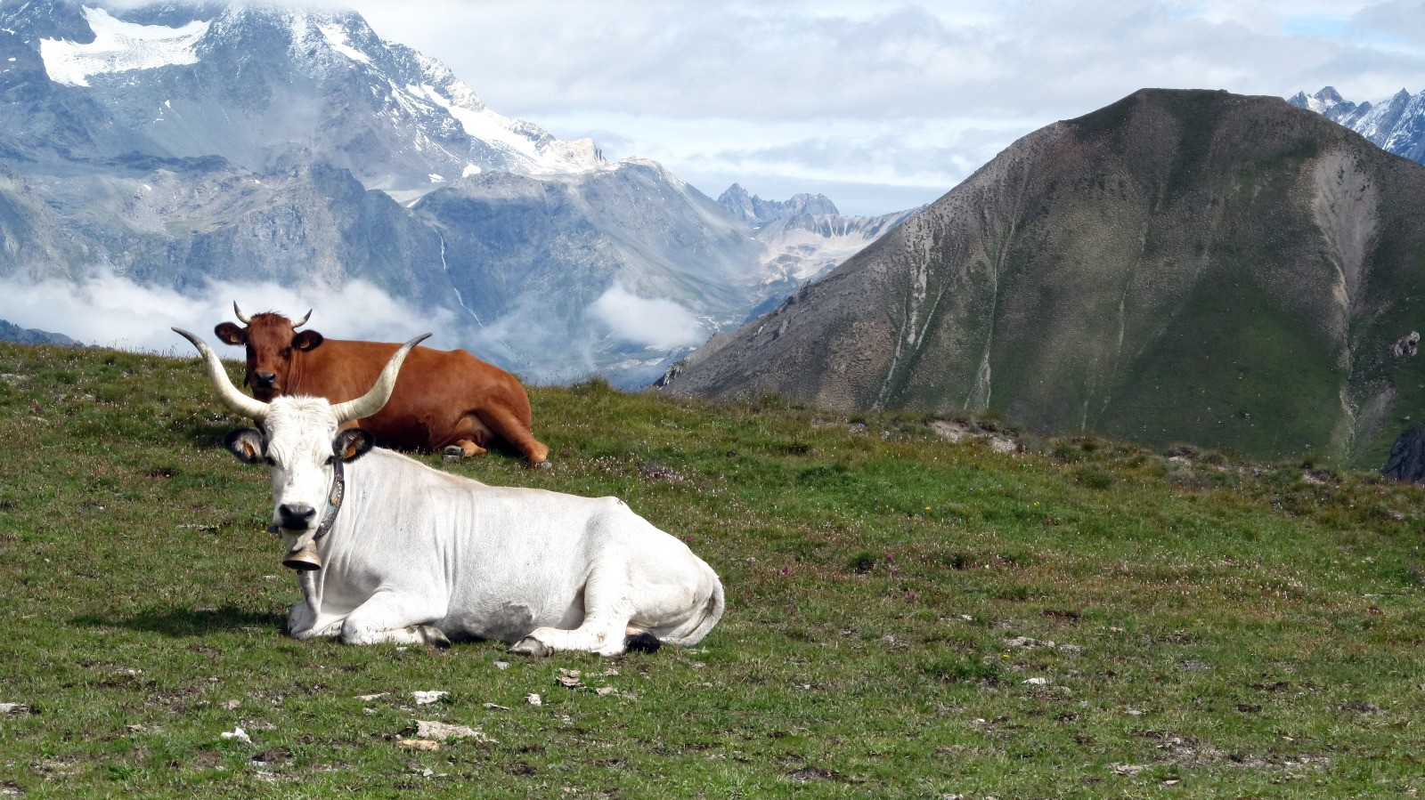 Vaches Italiennes